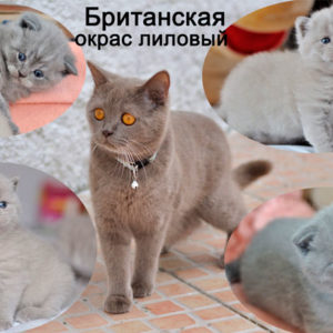 Британские-кошки