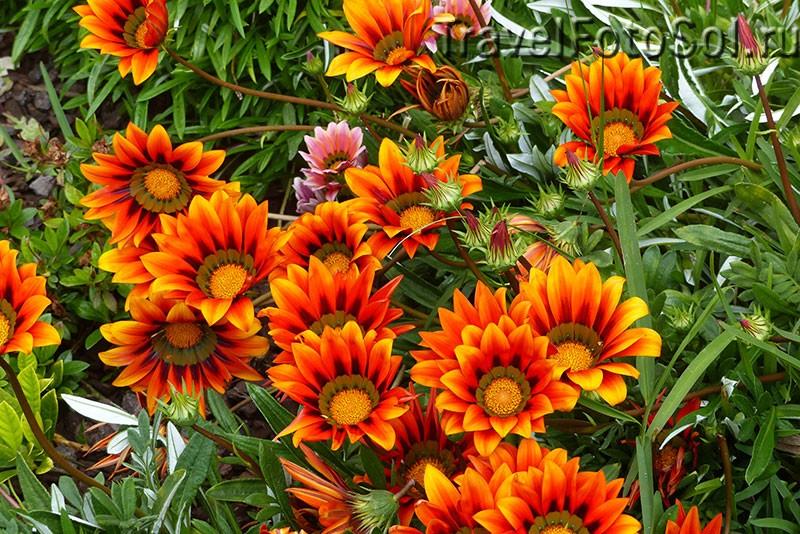 Газания цветок солнца