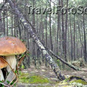 Грибная осень – белый гриб
