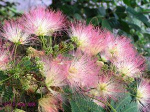 Мимоза – желтая и пушистая или розовая