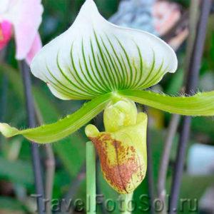Орхидея комнатное растение