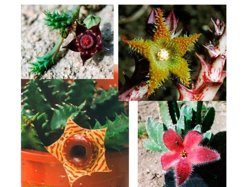 Стапелия, суккулент или кактус2