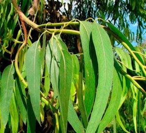 листья эвкалипта их польза