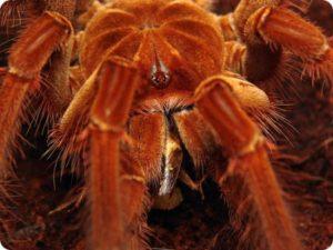 паук птицеед1