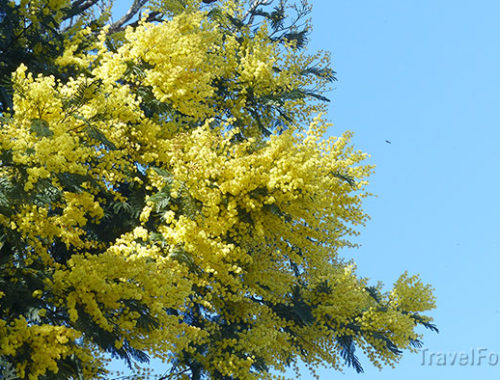 Мимоза, цветок подарок к 8 марта