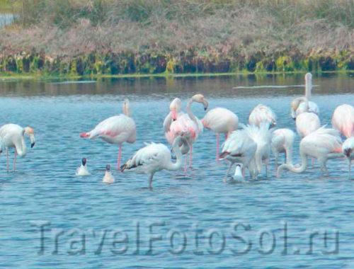 Фламинго среда обитания, Португалия